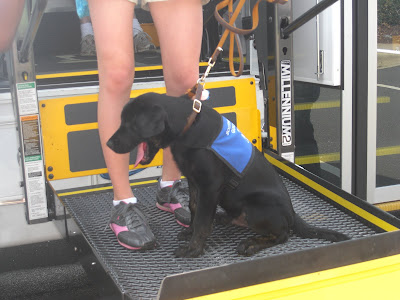 Rudy riding up on a wheelchair lift (onto a bus - last Saturday's guide dog meeting; post coming later)