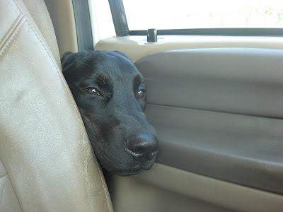 Picture of Rudy trying to cram his head beside the drivers seat in our huge truck