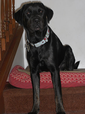 Picture of Rudy sitting on the stairs on top of a dog bed - he's wearing his new collar in the picture