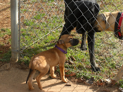 picture of Trixie sniffing Rudy through the fence; Tracker is watching on the right side