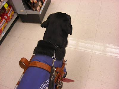 Picture of Rudy in coat/harness doing the command forward beside me (walking 2 feet ahead of me)