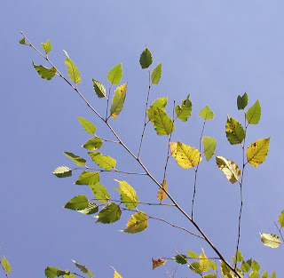Birch leaves against a bright blue autumn sky