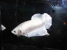 HMPK white platinum male