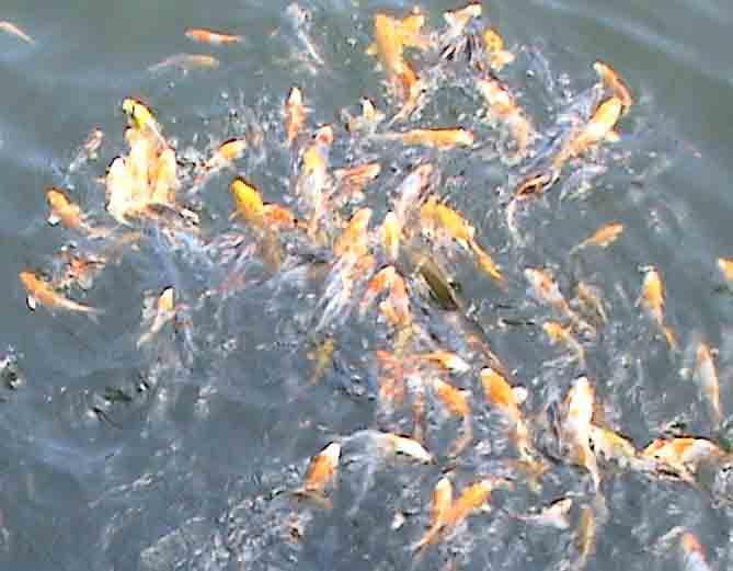 Quarantine koi fish koi fish care info for Koi fish care