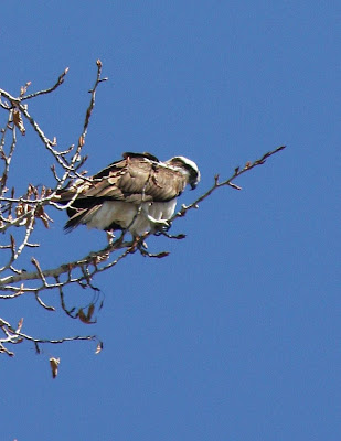 Osprey on the Bitterroot River