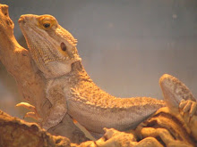 Spike - The Bearded Dragon