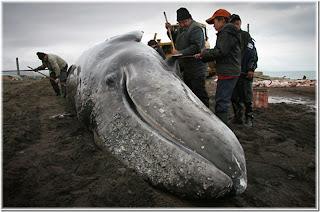 Добыча китов