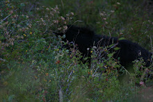 Young black bear in Yellowstone