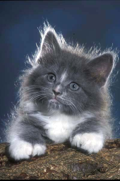 [CS - Stolte, Joanne - Fluffy Gray Kitten - ]