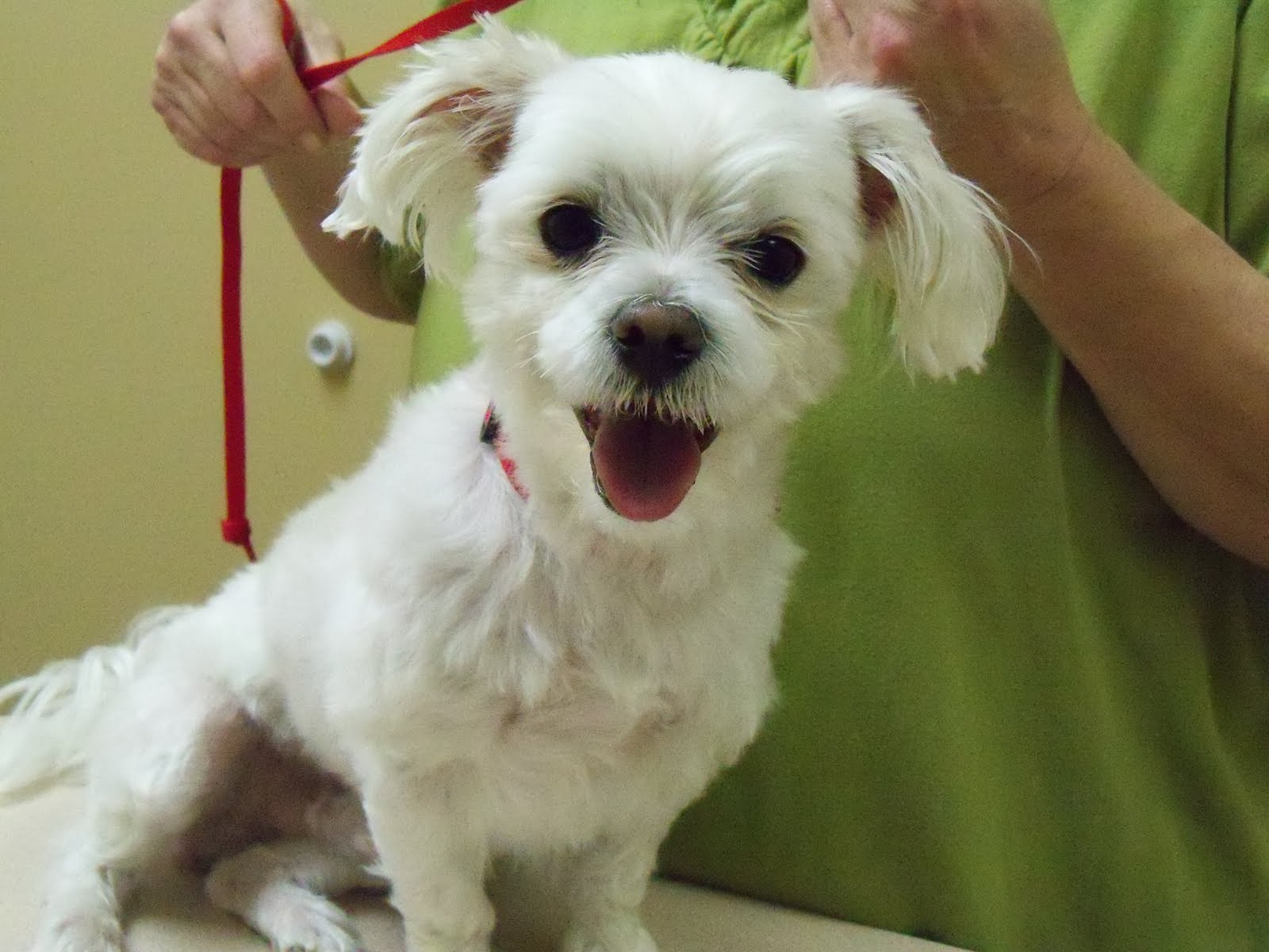 Maltese with Puppy Cut Wallpaper Download