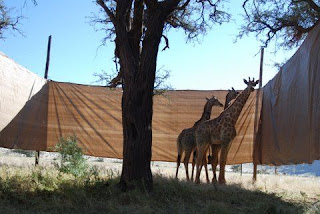 Giraffe on NamibRand Nature Reserve in their holding pen