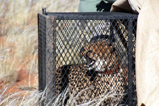 Cheetah released on NamibRand Nature Reserve