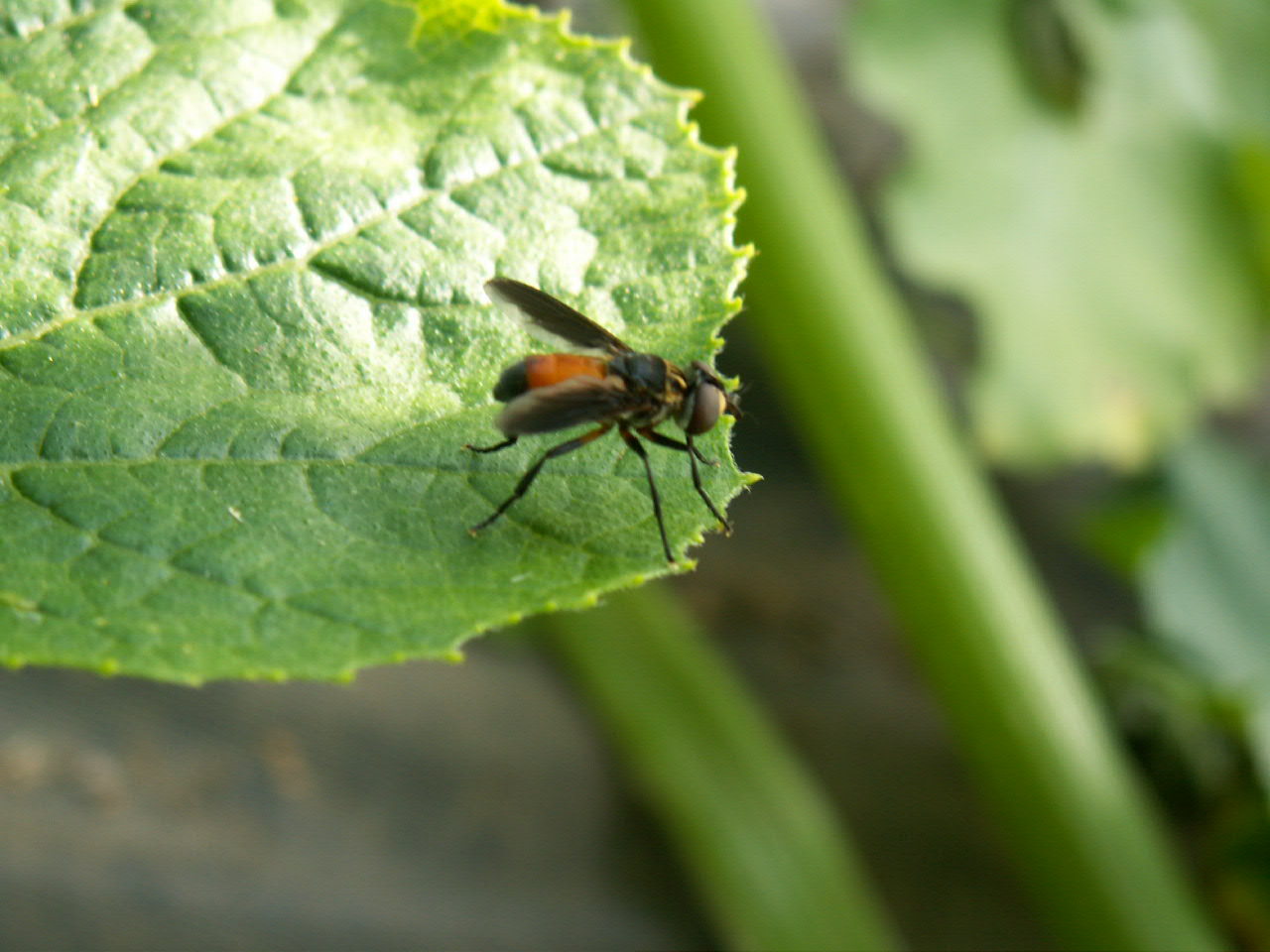 beneficial insects to control squash bugs