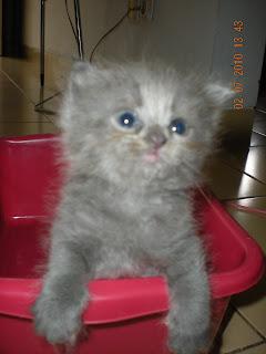 Kucing Rumah Lucu Lincah Amp Murah Kitten Anggora