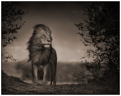 Great Photos Great Lion Photos by Nick Brandt