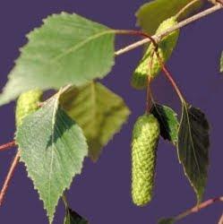 El Abedul una planta medicinal por excelencia