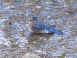 A young bluebird bathing in our stream