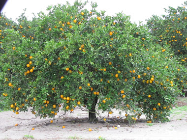 A Bountiful Orange Tree - Florida
