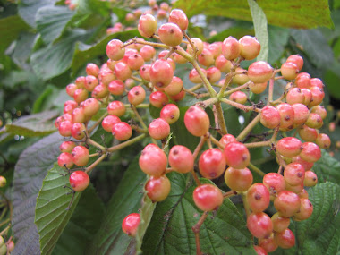 Berries of Linden Viburnum