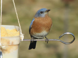 Bluebird perched on skewer