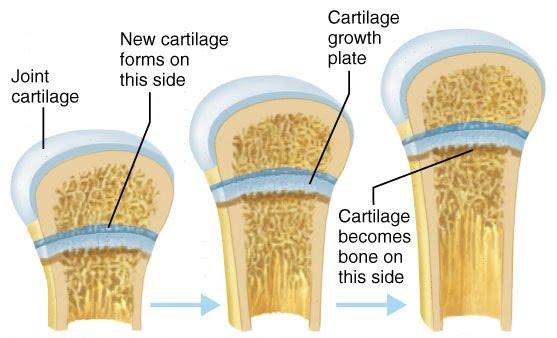boy uzaması kemik kıkırdaklar