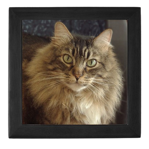 Maine Coon Large Cat