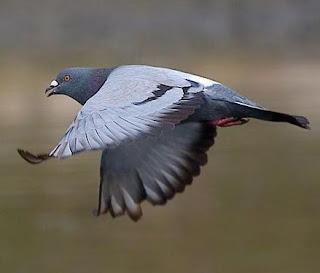 http://4.bp.blogspot.com/_uHn35IB1Szo/SoZ4yT5CS9I/AAAAAAAAABQ/kCcna2kzS5w/s320/pigeon.jpg