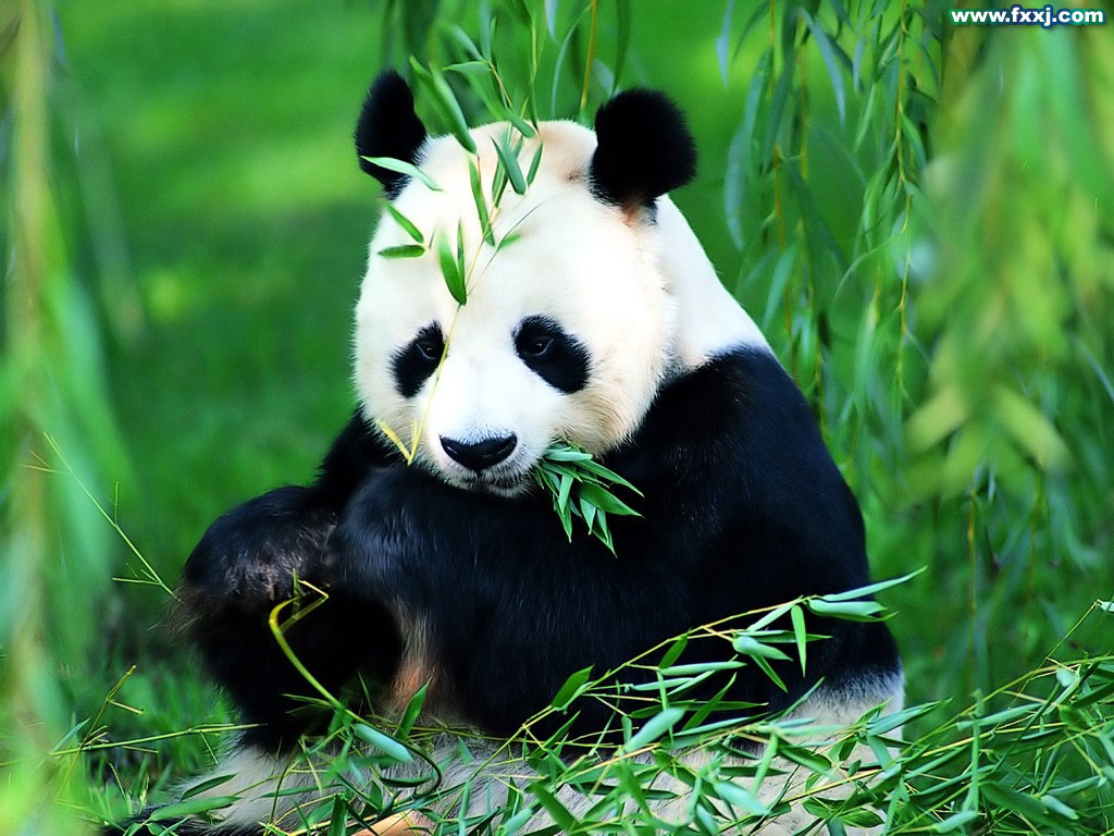 an introduction to the nature of the panda bear the most famous endangered animal in the world Endangered species panda powerpoint ppt volume i panda bear the panda bear - the panda bear is probably the most famous endangered animal.