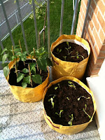 lettuce, spinach, chilli and sweet peppers in yellow planter bags