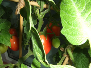 green and red tomatoes on the vine