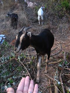 des chèvres dans un jardin communautaire à seattle