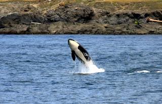 Un orque sautant hors de l'eau à Anacortes dans le Puget Sound