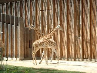 Deux girafes se croisent