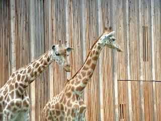 Deux girafes photographiées devant leur enclos