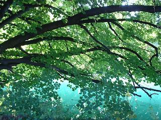 feuillage d'un arbre se reflétant dans les eaux vertes du lac