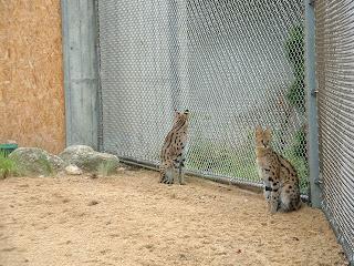 Deux serval assis proches l'un de l'autre