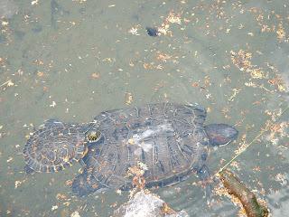 Deux tortues de Floride