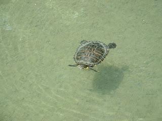 Une tortue de Floride nage dans son bassin