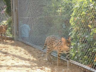 Les deux servals font les cents pas de leur cage