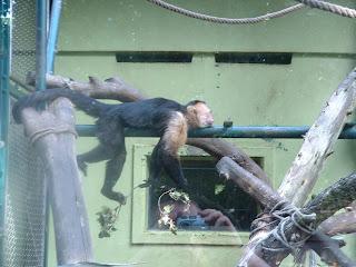 Un petit singe capucin tente de garder l'équilibre