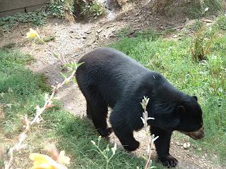 L'ours en plongée