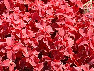Plantes à feuilles rouges