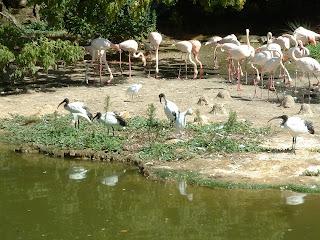 Ibis blanc et noirs devant des flamands