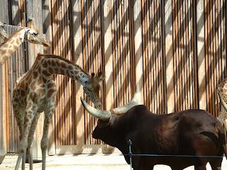 Un watusi et une girafe