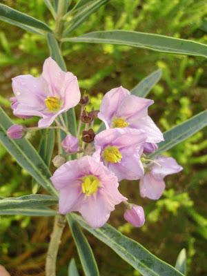 Qinti wasi plantas nativas de argentina for Vivero plantas nativas