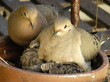 For several years mourning doves have nested on a fire escape in New York City.  They're back.