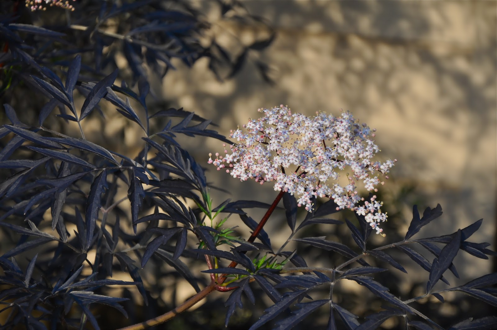 How Elderberry Can Naturally Boost Your Immune System One Green