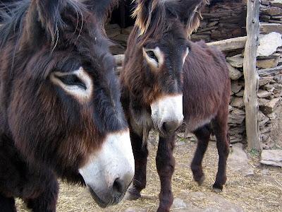 Burros Lanudos ou burros de miranda MIRANDA+368
