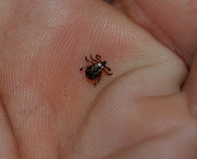 This one is a male dog tick. Click for larger Photo (deer tick)