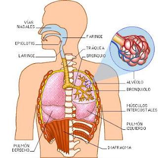 Sistema Respiratorio 1 - es.slideshare.net